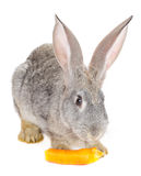 Gray rabbit eating the carrot Stock Images