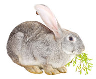 Gray rabbit eating carrot leaf Royalty Free Stock Images