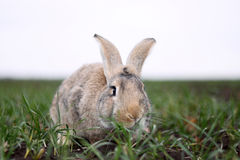 Gray rabbit in the field Royalty Free Stock Image