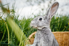 Gray rabbit in the garden Royalty Free Stock Image