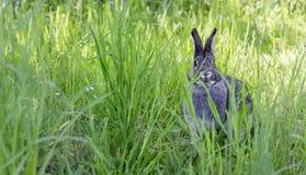A gray rabbit in a garden. A cute, gray rabbit in a garden royalty free stock photo
