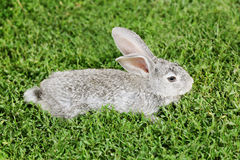 Gray rabbit on the grass Stock Images