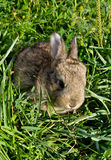 Gray rabbit into green grass Stock Images
