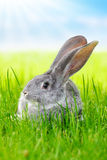 Gray rabbit in green grass on field. Young domestic gray rabbit in green grass on the field Royalty Free Stock Photo
