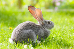 Gray rabbit in green grass Stock Photos