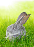 Gray rabbit in green grass Royalty Free Stock Photos