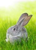 Gray rabbit in green grass Royalty Free Stock Photos