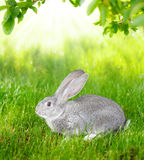 Gray rabbit in green grass Royalty Free Stock Photo