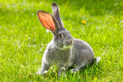 Gray rabbit in green grass Royalty Free Stock Images