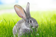 Gray rabbit in green grass Stock Images