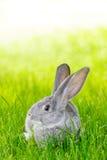 Gray rabbit in green grass Stock Photo