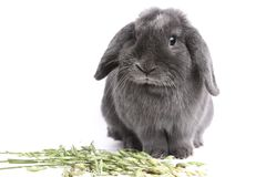Gray rabbit and green oats Stock Photos