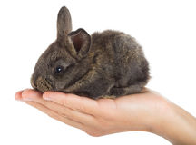 Gray rabbit in hand Royalty Free Stock Photography
