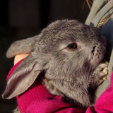 Gray rabbit on hands Royalty Free Stock Photo
