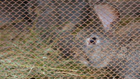 Gray rabbit hare in a mesh metal cage. stock video