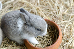 Gray rabbit on hayloft eating food Royalty Free Stock Photography