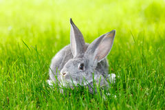 Gray rabbit hiding in green grass Stock Photo