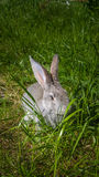 Gray rabbit hiding on green spring grass. Royalty Free Stock Image