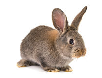 Gray rabbit isolated Royalty Free Stock Image