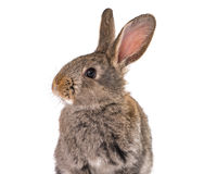 Gray rabbit isolated Royalty Free Stock Images