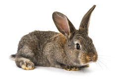 Gray rabbit isolated Royalty Free Stock Photo