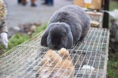 gray rabbit lies on the grass stock photos