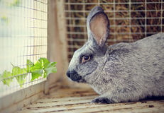 Gray rabbit and leaf of a dandelion. Royalty Free Stock Photo