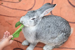 Gray rabbit. A little white gray rabbit eating  vegetables Royalty Free Stock Image