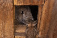Gray rabbit looks out of his wooden house baby rabbit came to his mom royalty free stock photo