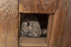 Gray rabbit looks out of his wooden house stock image