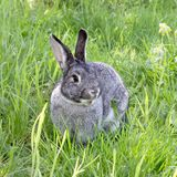 A cute gray chinchilla rabbit. Gray rabbit on the meadow Royalty Free Stock Photo