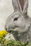 Gray rabbit Royalty Free Stock Photos