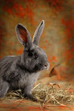 Gray rabbit. Photo gray rabbit was taken in a photo studio Stock Photography