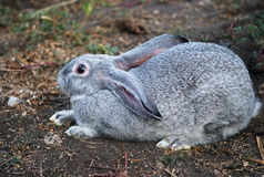 Gray rabbit sit Royalty Free Stock Photos