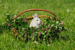 Gray rabbit sitting in the basket Stock Image