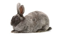Gray rabbit sitting. Isolated on white Royalty Free Stock Photography