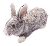 Gray rabbit sitting on white background Easter Stock Photo