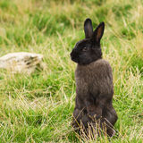 Gray rabbit. Standing on hind legs Stock Image