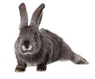 Gray rabbit on white background Royalty Free Stock Image