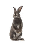 Gray rabbit on white background Stock Photo