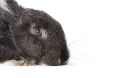 Gray rabbit on white background Royalty Free Stock Photo