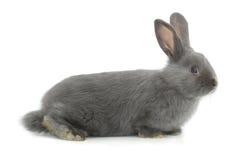 Gray rabbit Royalty Free Stock Photo
