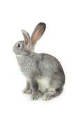 Gray rabbit Stock Image