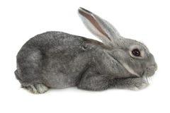 Gray rabbit Royalty Free Stock Photography