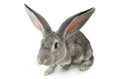 Gray rabbit Stock Photography
