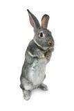 Gray rabbit Stock Images