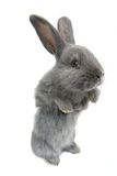 Gray rabbit Royalty Free Stock Photos
