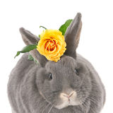 Gray rabbit with a yellow rose Stock Photo