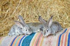 Gray rabbits on the hay background. Domestic habitat. stock photos
