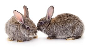 Gray rabbits isolated. On a white background stock photography
